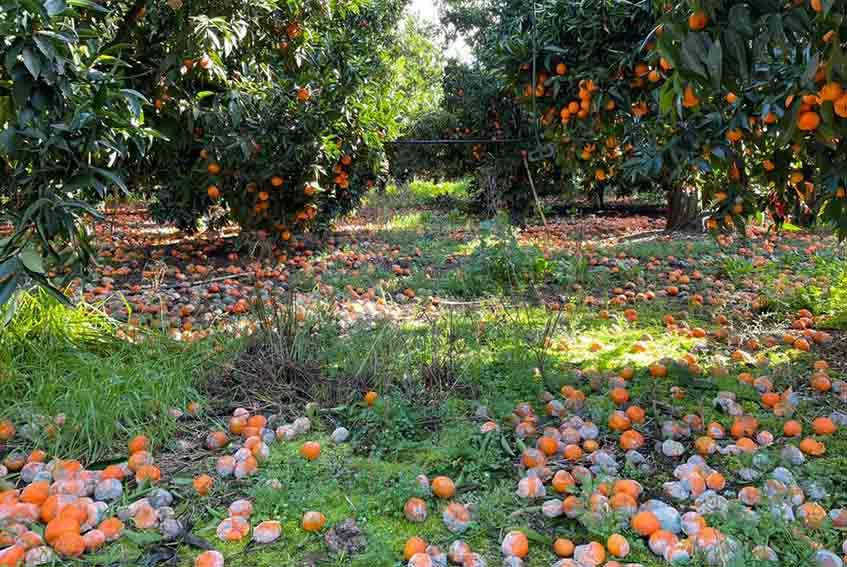 Agrumicoltori_Clementine di Villacidro