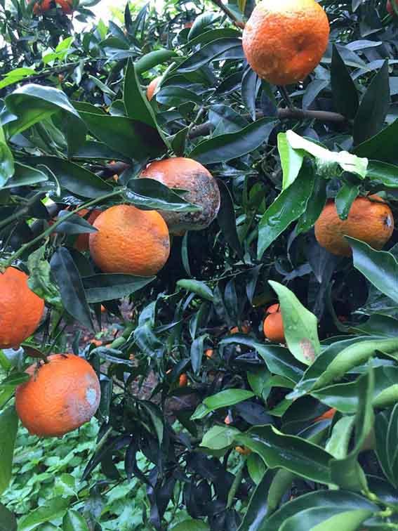 Clementine di Villacidro