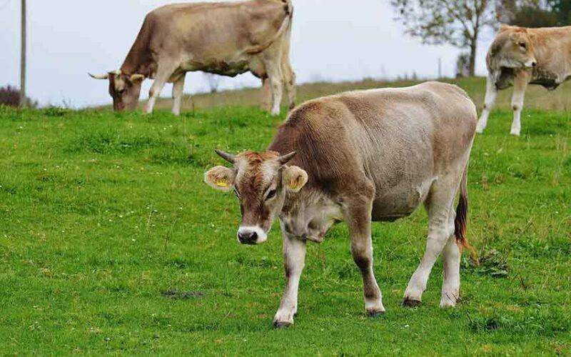 test antitubercolina per la movimentazione dei bovini