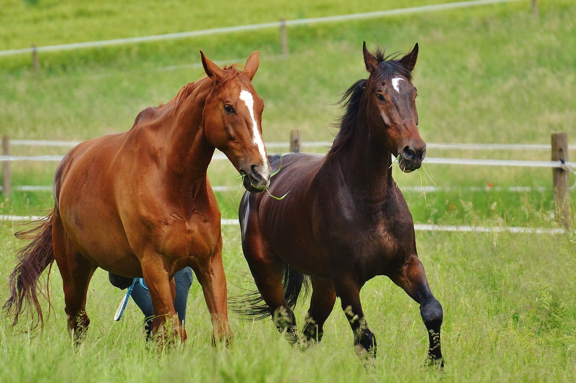 integratore per cavalli a base di cannabis