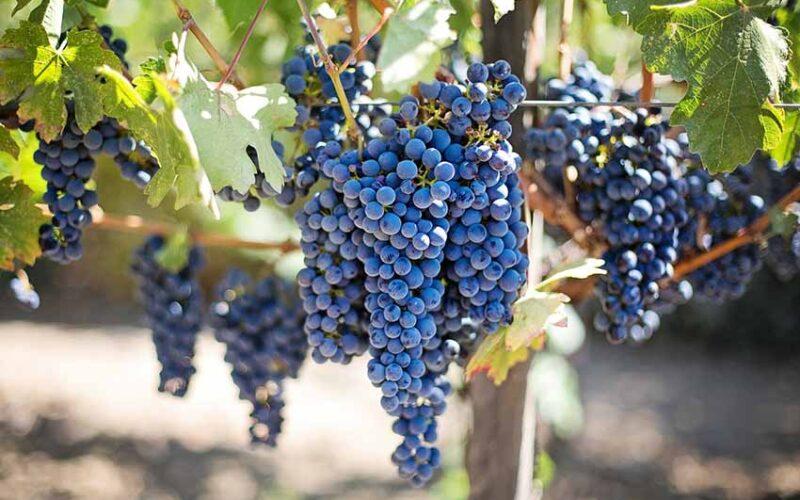 Nuovi impianti viticoli