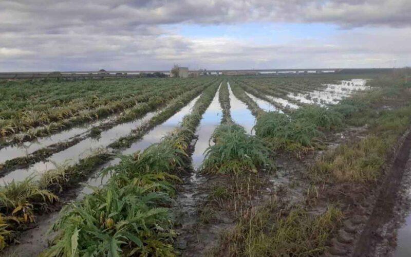 Campo di Carciofi allagato